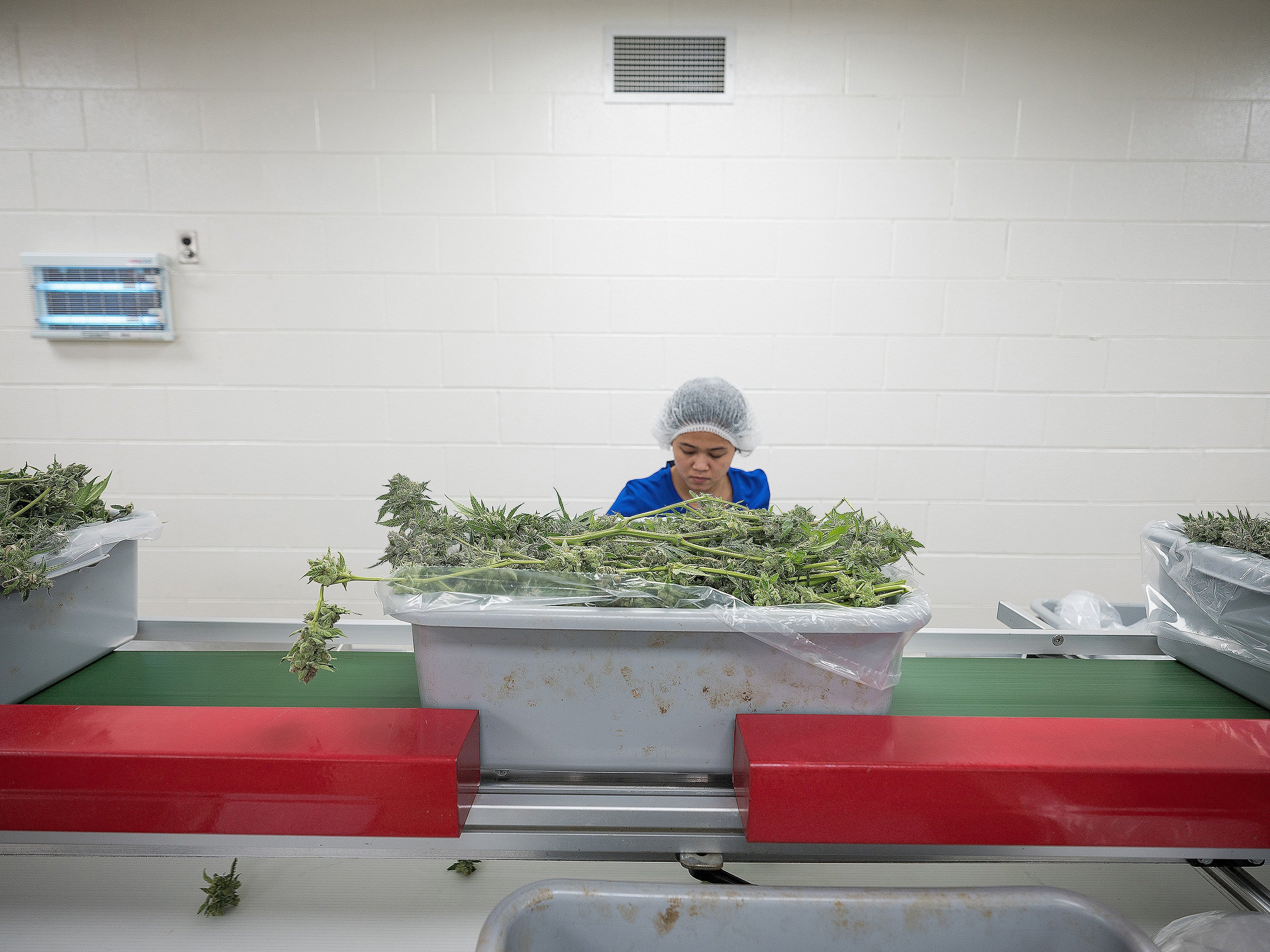 An Aphria worker strips leaves off cannabis stems in a clipping room at the company's facility in Leamington, Ont. (Evan Mitsui/CBC)