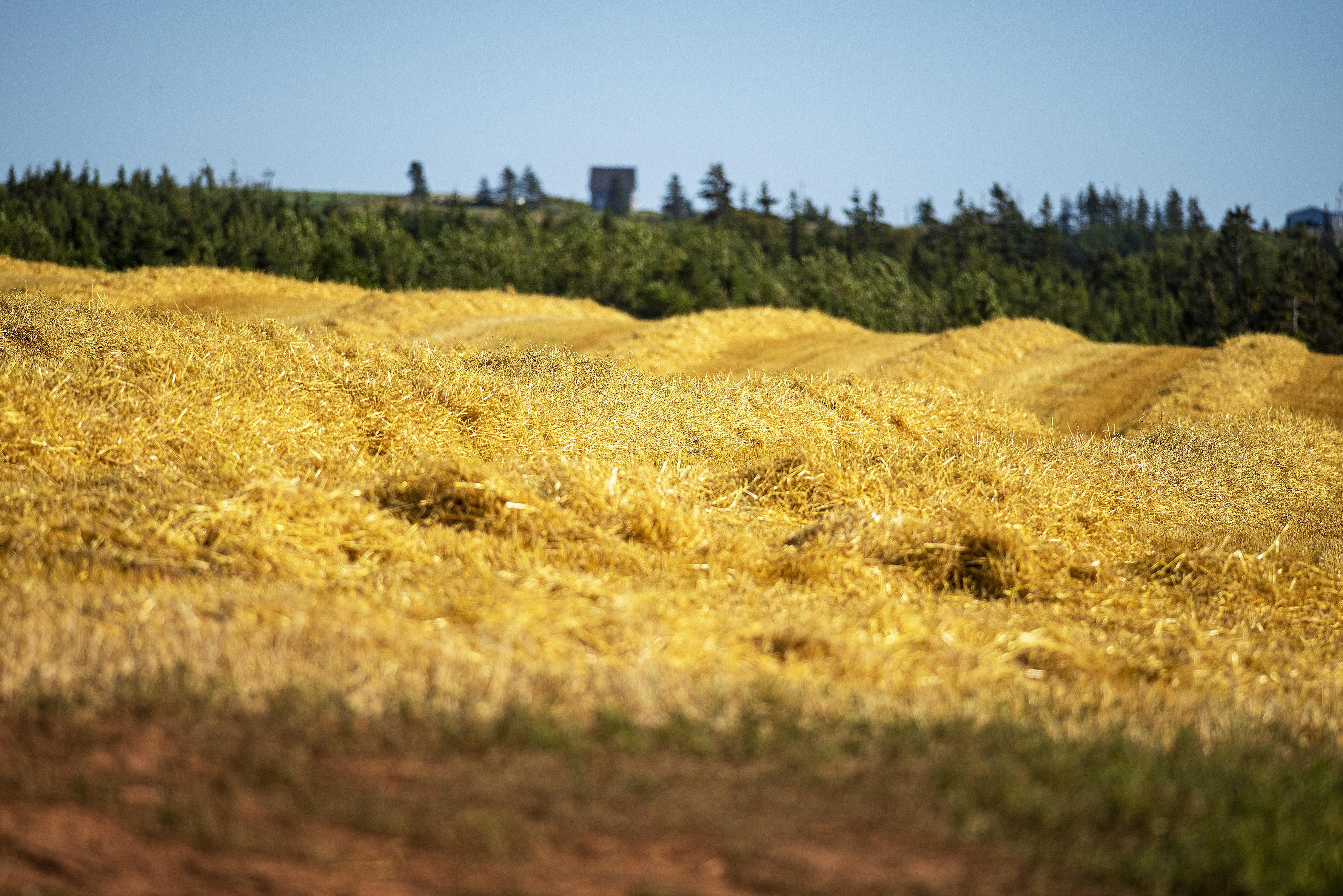 An early crop of freshly-cut straw. Brian McInnis/CBC