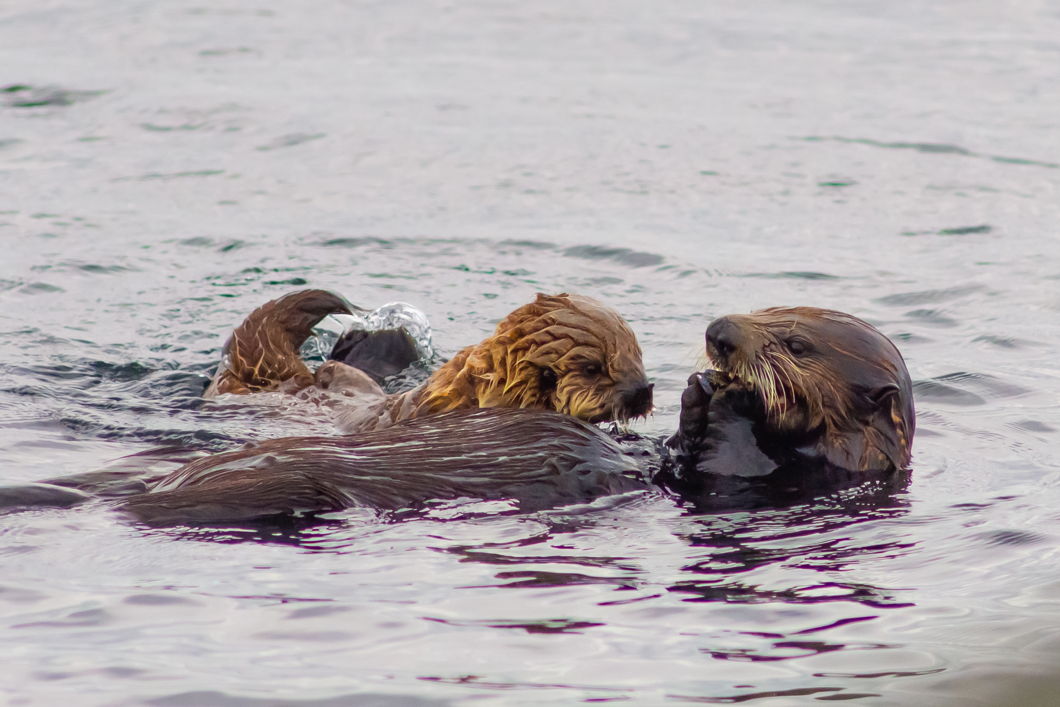 Sea otter mothers carry single pups on their belly and eat prey while lying on their back in the water. (Mike Willie/Coastal Rainforest Safaris)