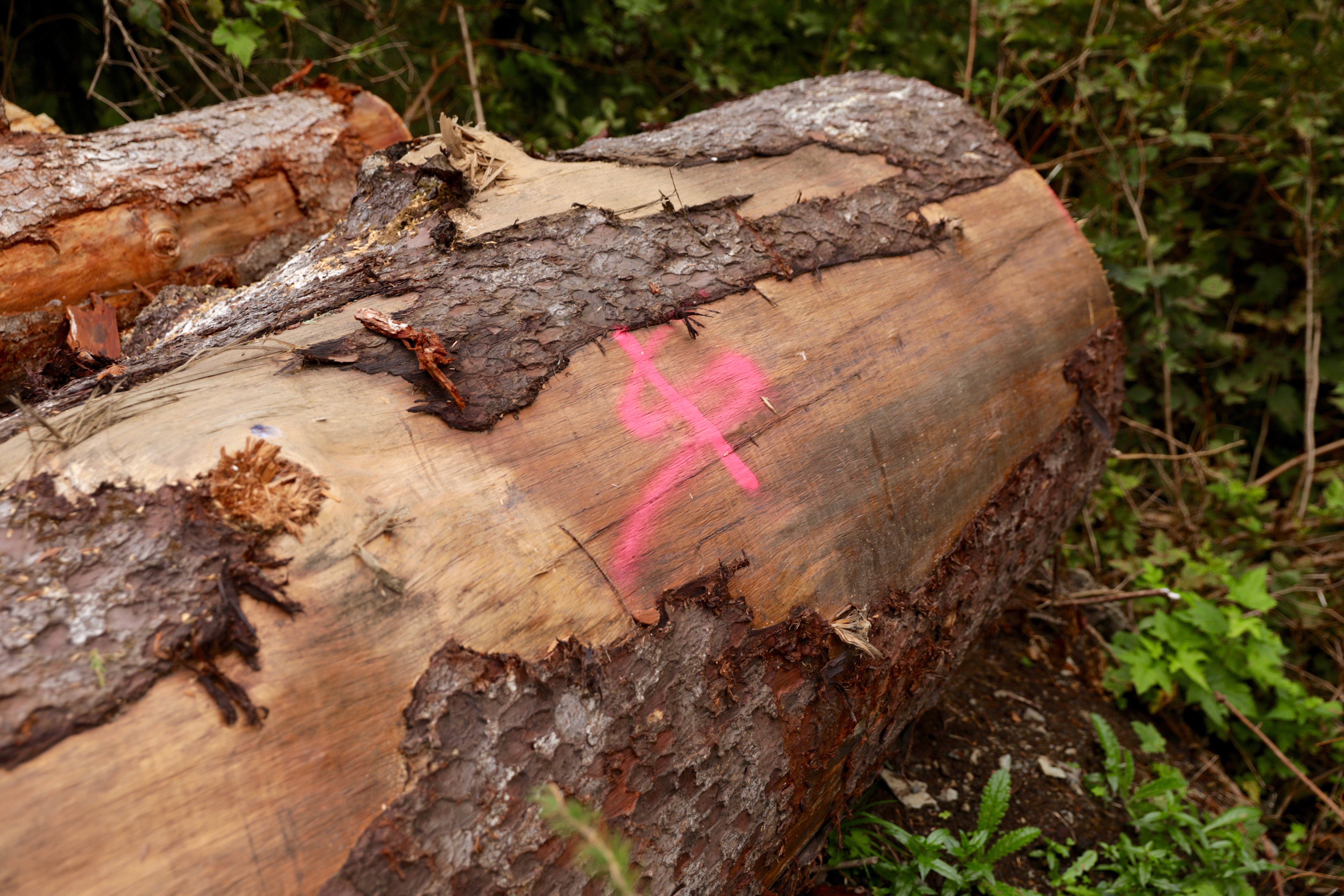A large, old-growth log by Hadikin Lake on Vancouver Island is spray-painted with what looks like a dollar sign. (Chris Corday/CBC)