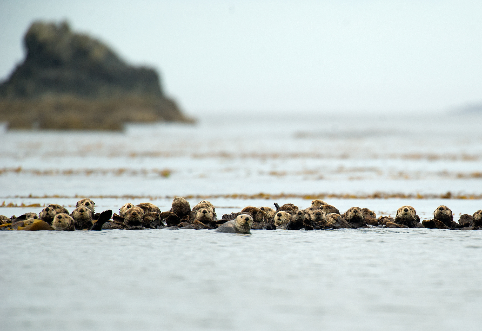 Sea otters often convene in large groups called rafts. Their population on the B.C. coast has grown from 89 in the early 1970s to just over 8,000 today. (Isabelle Groc)