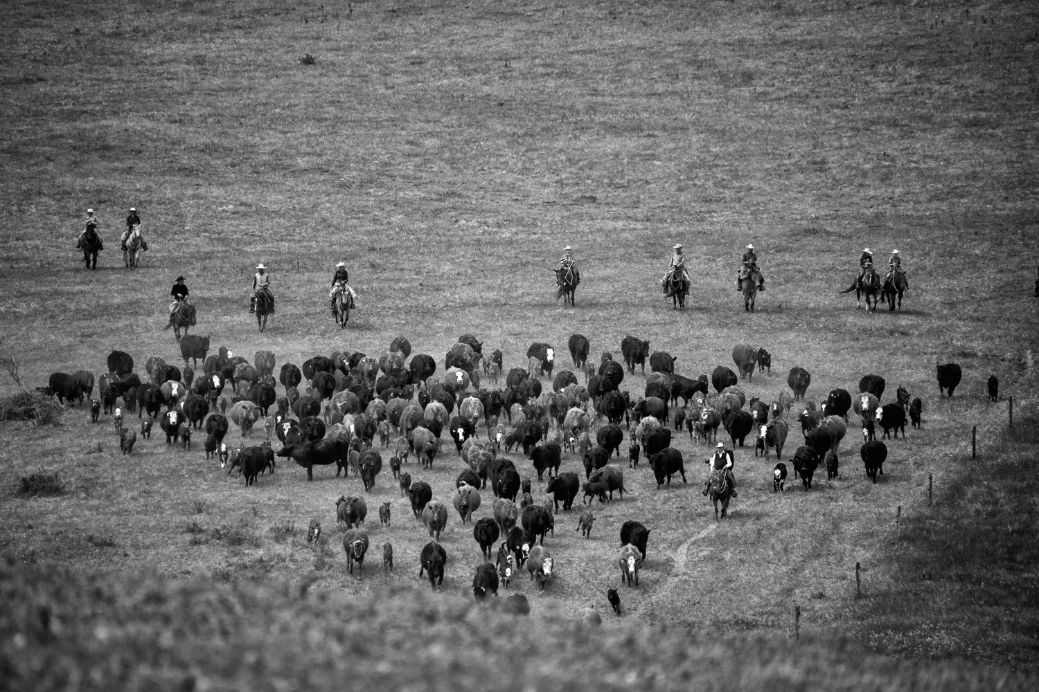 Riders round up a herd of cattle at the ranch.