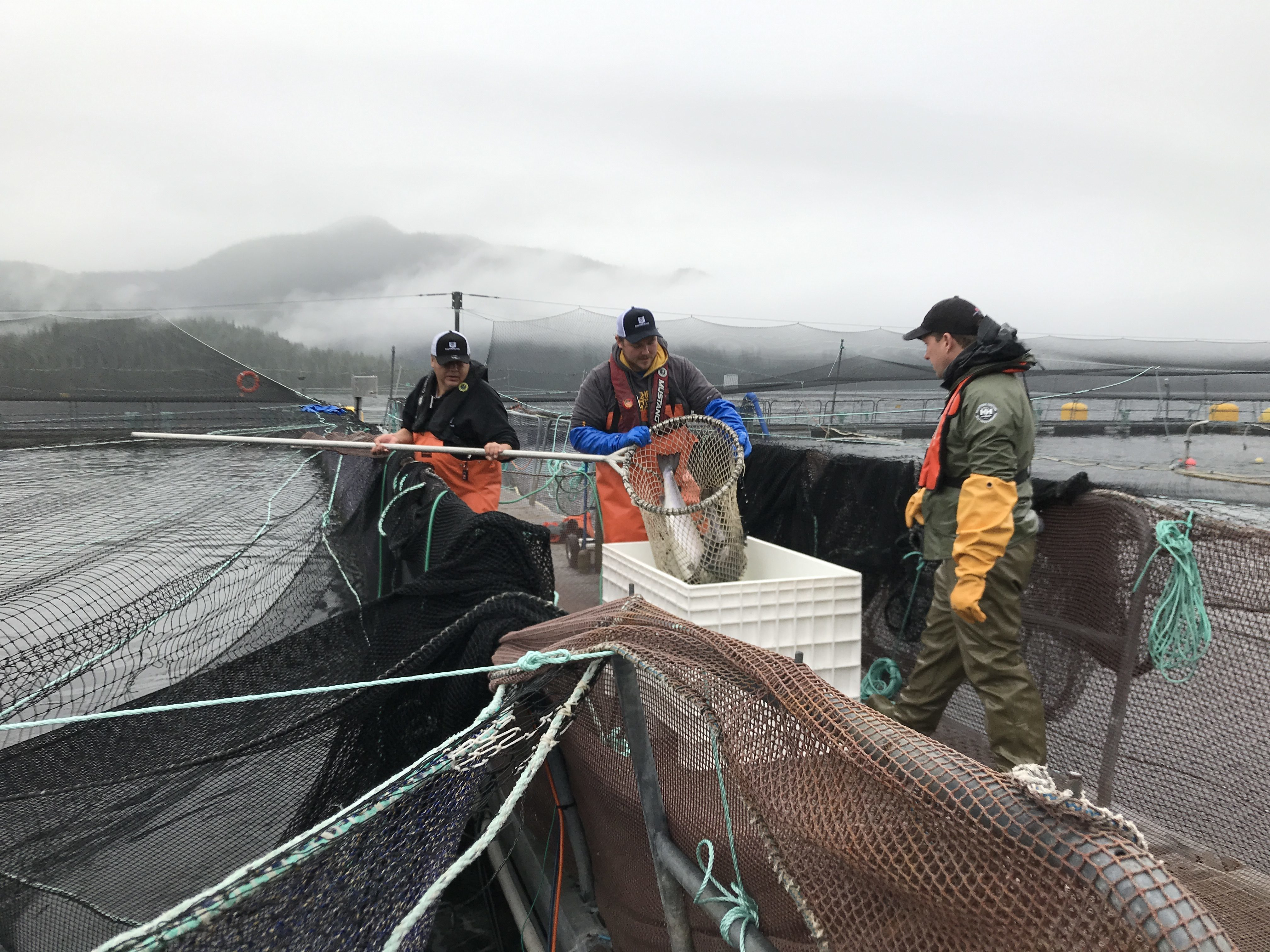 Atlantic Salmon are pulled from their pen for a routine DFO audit to check for sea lice at a fish farm off eastern Vancouver Island. (Megan Thomas/CBC)