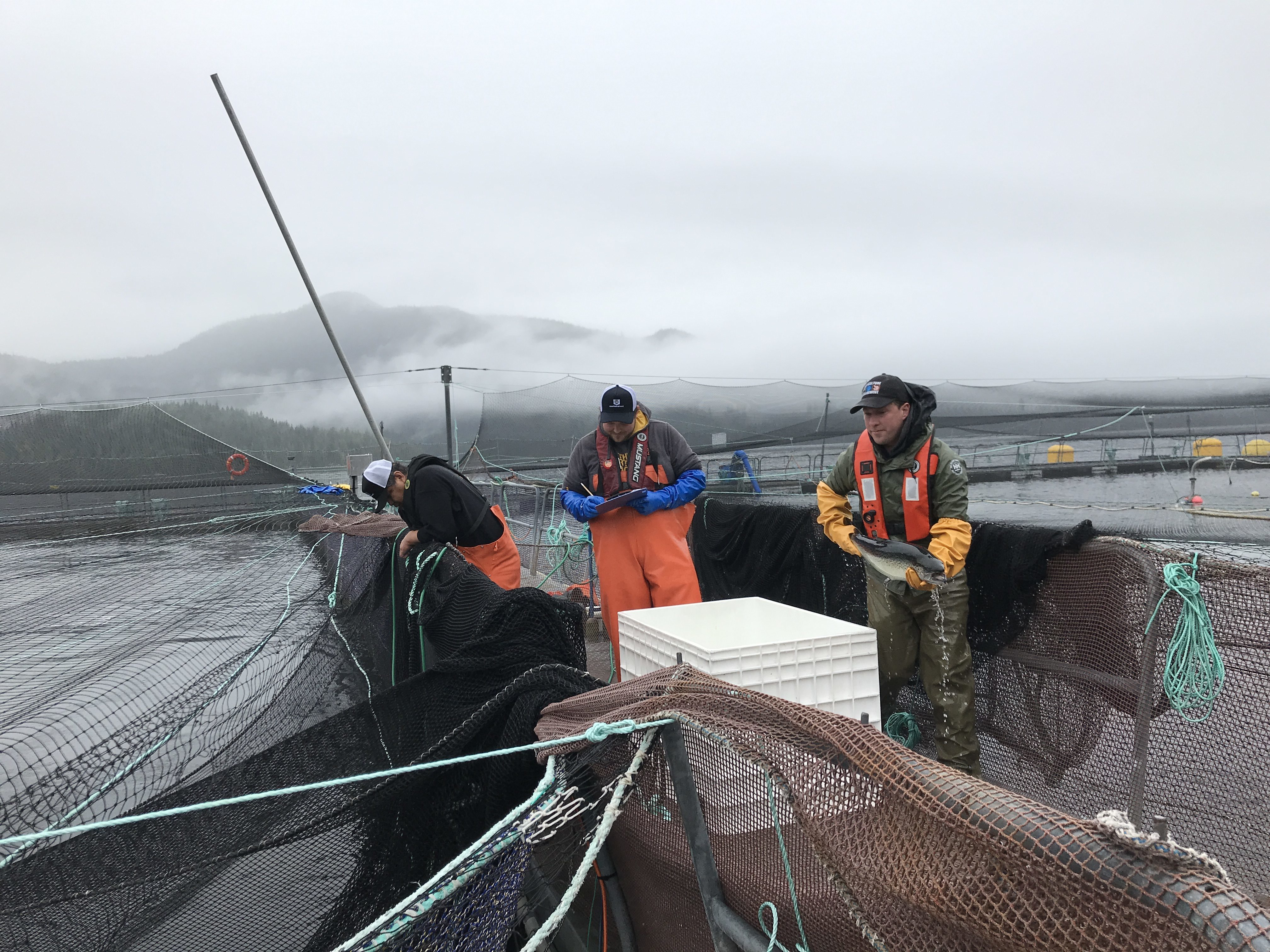 No sea lice is found on this fish during a routine health audit at a B.C. fish farm (Megan Thomas/CBC)