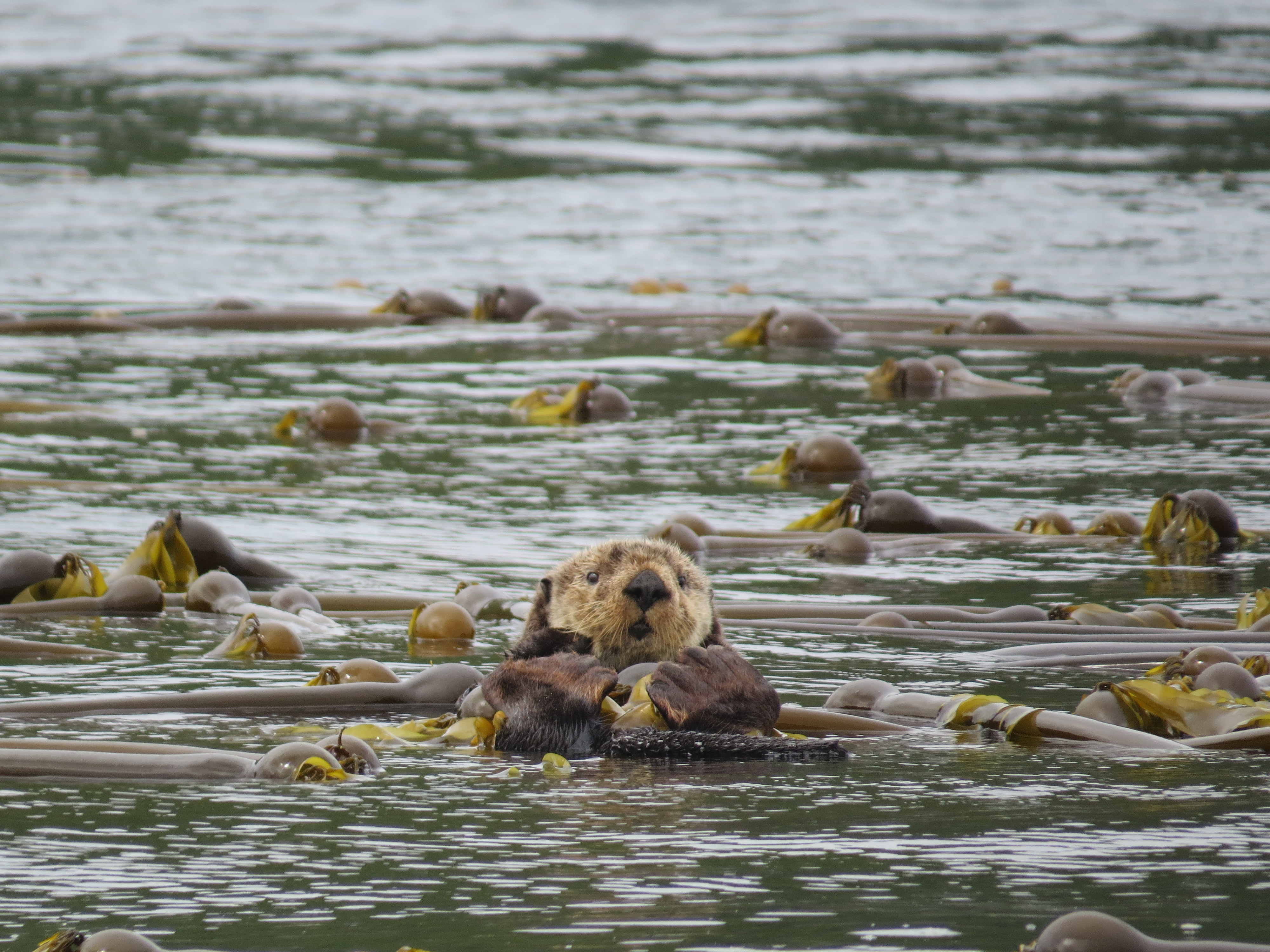Despite their growing numbers, sea otters are still considered a species of special concern in Canada. (Keith Holmes/Hakai Institute)