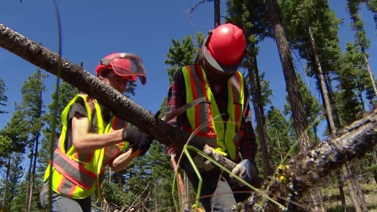 High school students clear brush as part of Logan Lake's wildfire mitigation program in 2017. ((Mike McArthur/CBC)
