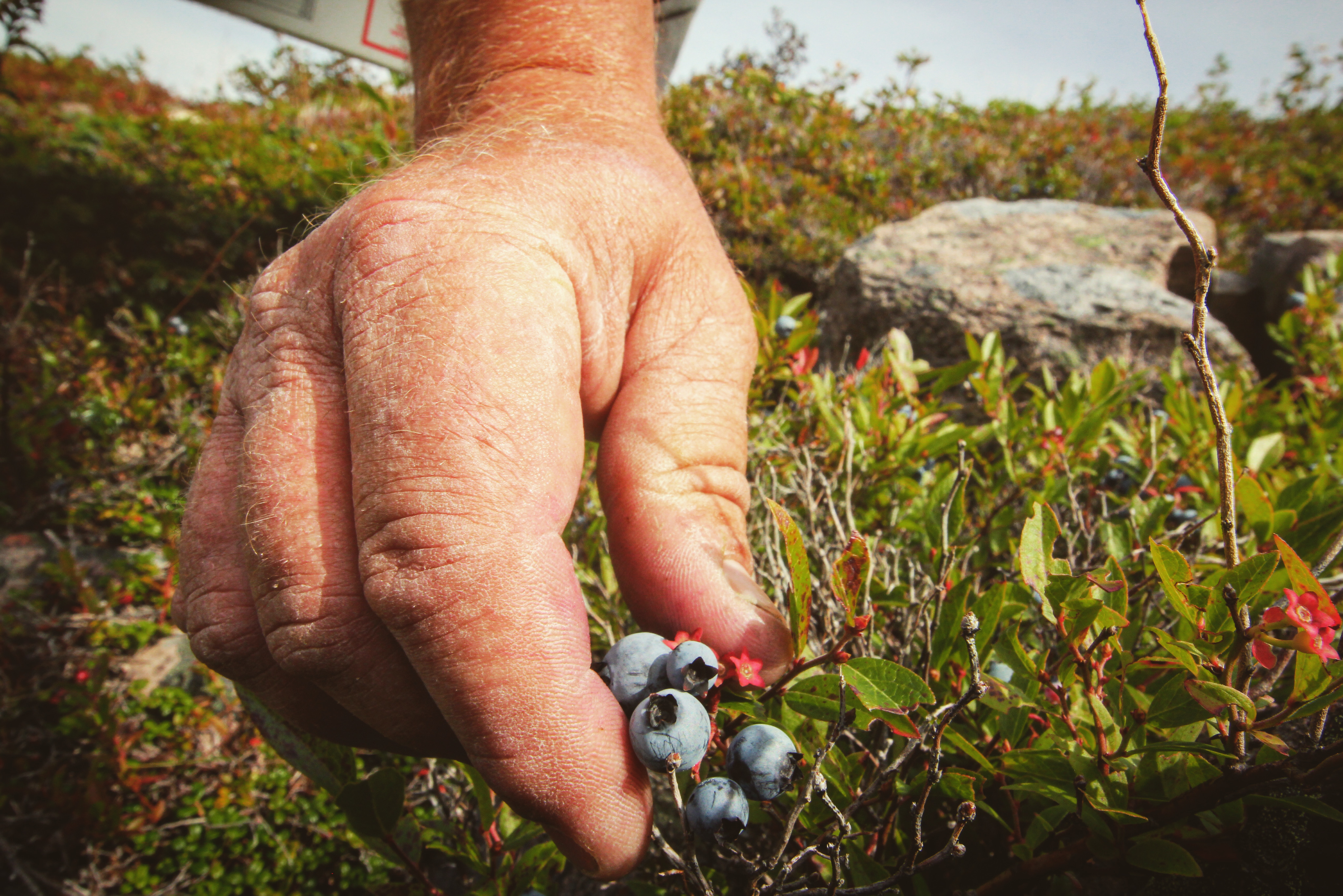 Rowbottom picks berries along the shores of St. John's every day in the summer and fall, rain or shine. (Gavin Simms/CBC)