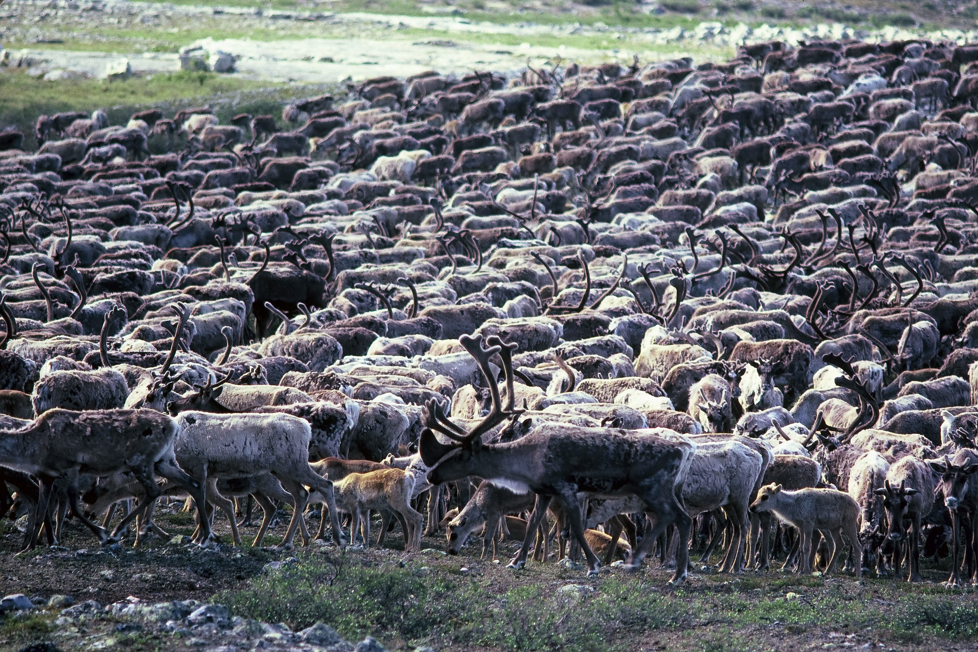 A part of the Beverly Caribou herd in late July 1985 on the upper Thelon River. The caribou are packed together to minimize insect harassment. (Photo by Alex Hall)