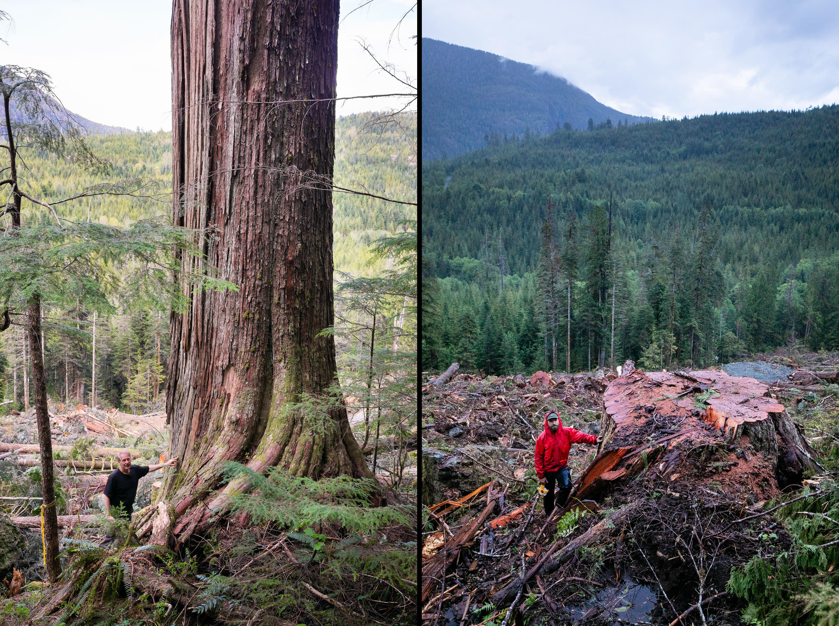A before and after photo of a large old-growth red cedar logged in the Nahmint Valley on Vancouver Island. (TJ Watt)