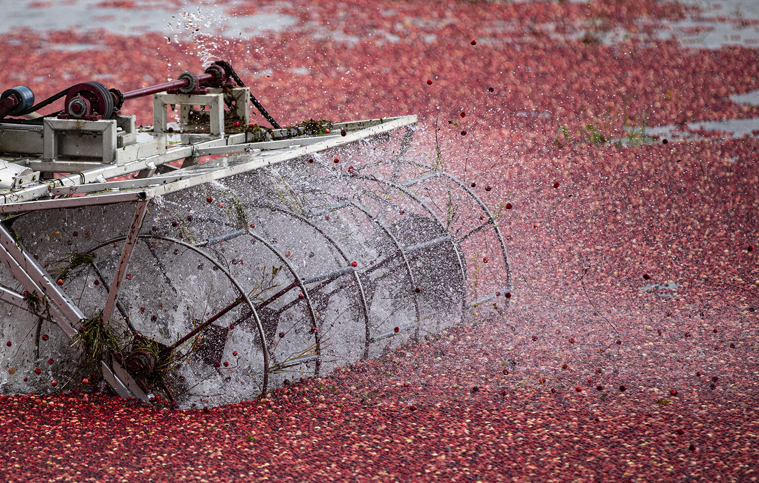 The beater pulls the cranberries off the vines.