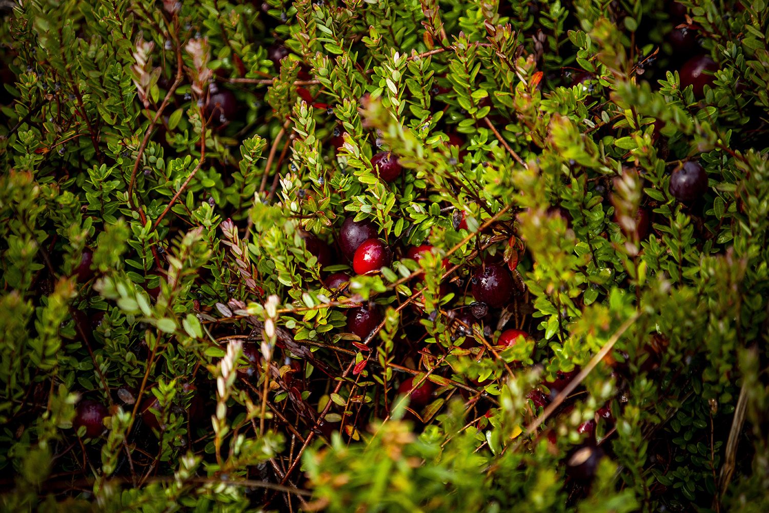 Cranberry plants are low-growing perennial vines.