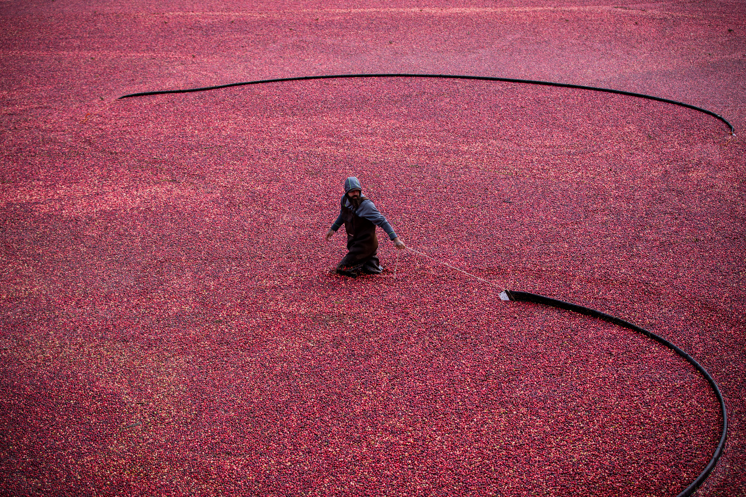 Workers use 'beaters' to loosen cranberries causing them to float at Coastal Cranberries Co., in Langley, B.C. on Oct. 3, 2019. (Ben Nelms/CBC)