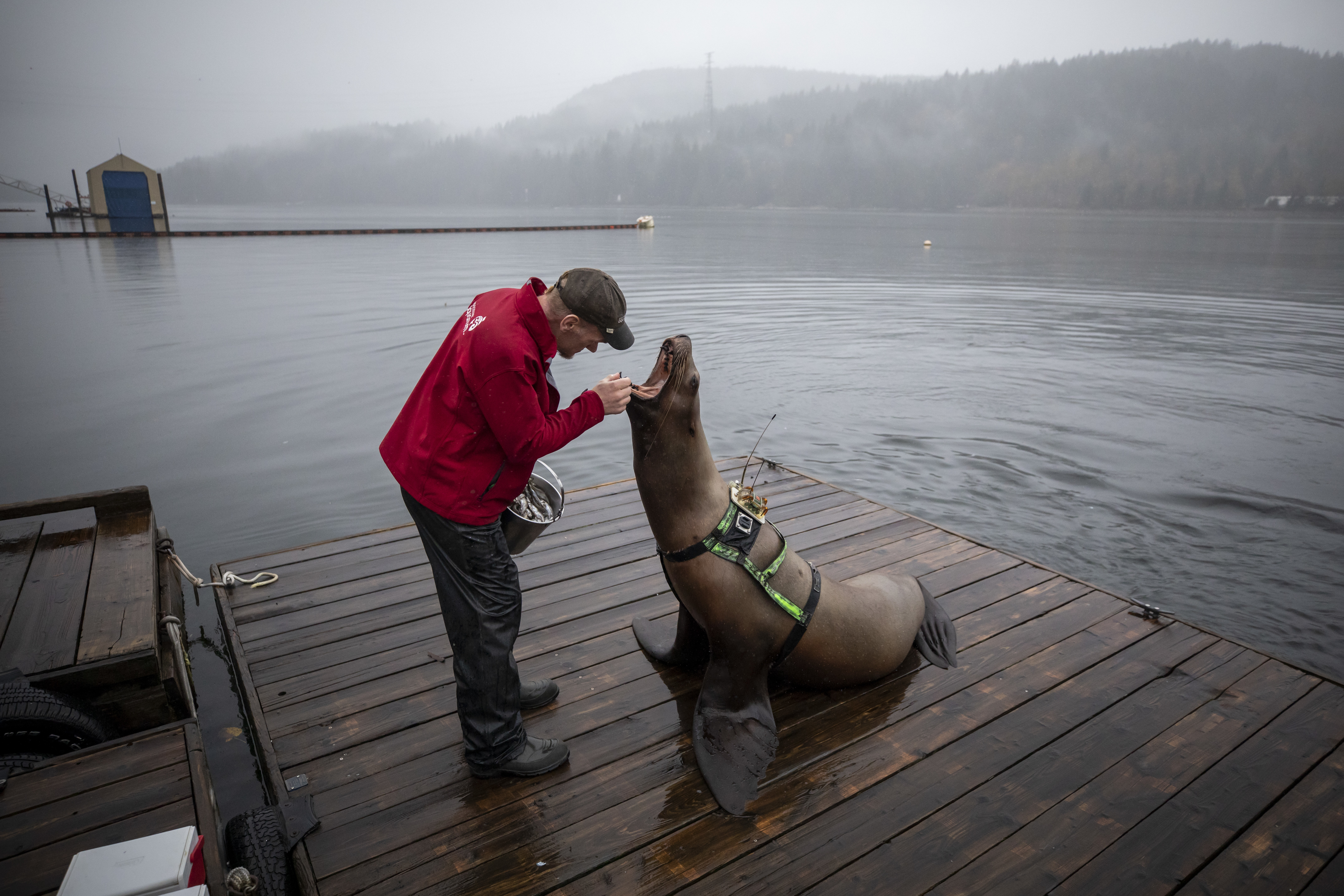 Nigel Waller, a senior marine mammal trainer, with a Steller sea lion at UBC's Open Water Research Centre in Port Moody, B.C. on Oct. 7, 2019.  (Ben Nelms/CBC)