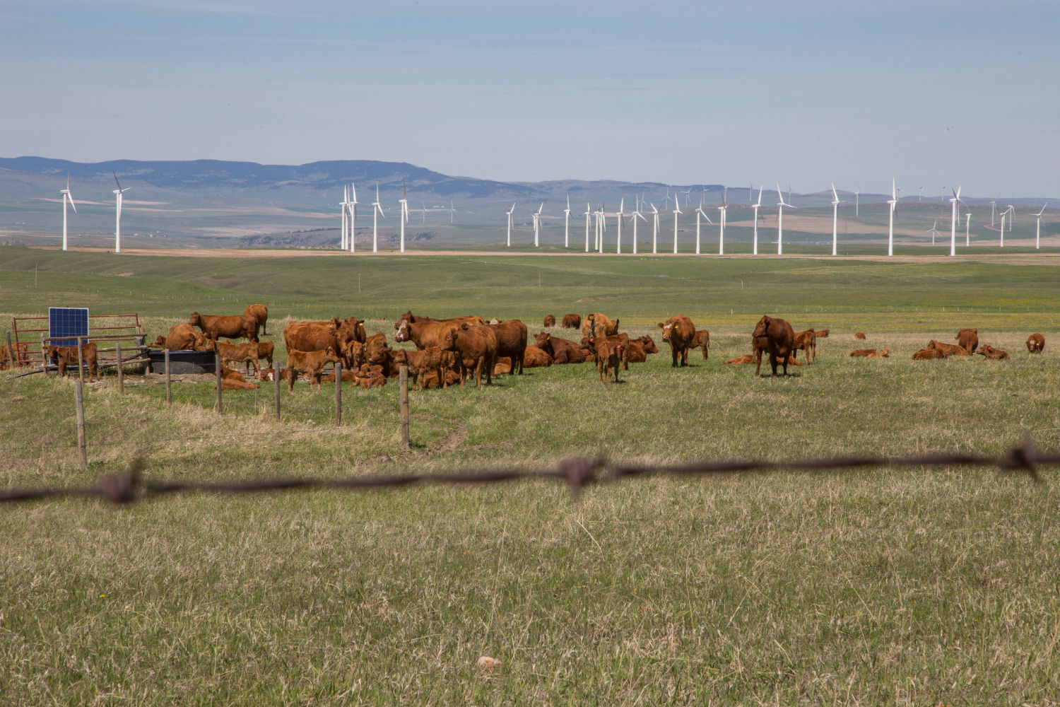 Cattle graze on a ranch near Pincher Creek, with a bank of wind turbines in the distance. (Robson Fletcher/CBC)