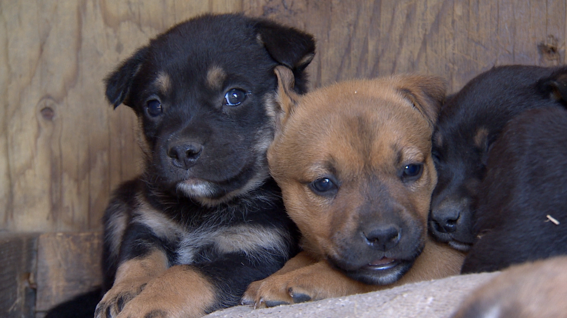 These newborn puppies are set to be spayed and neutered. (Sam Martin/CBC)