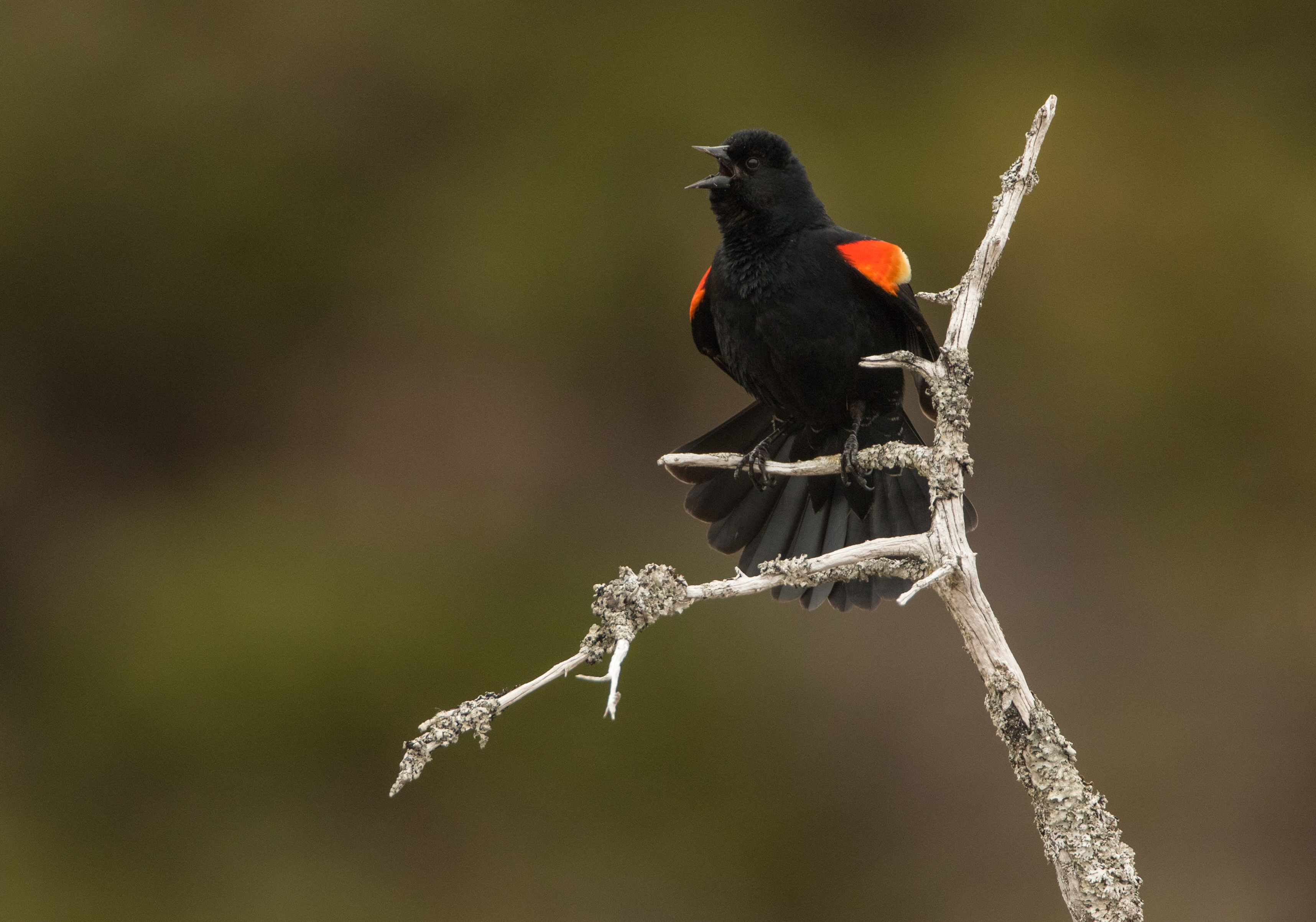 Just about every wetland on P.E.I. has a family of red-winged blackbirds during spring and summer. These birds, with bright red wing patches, require cattail marshes to nest and raise young. Protecting wetlands and ensuring we have wide buffer zones will protect this species for years to come. (Brendan Kelly)