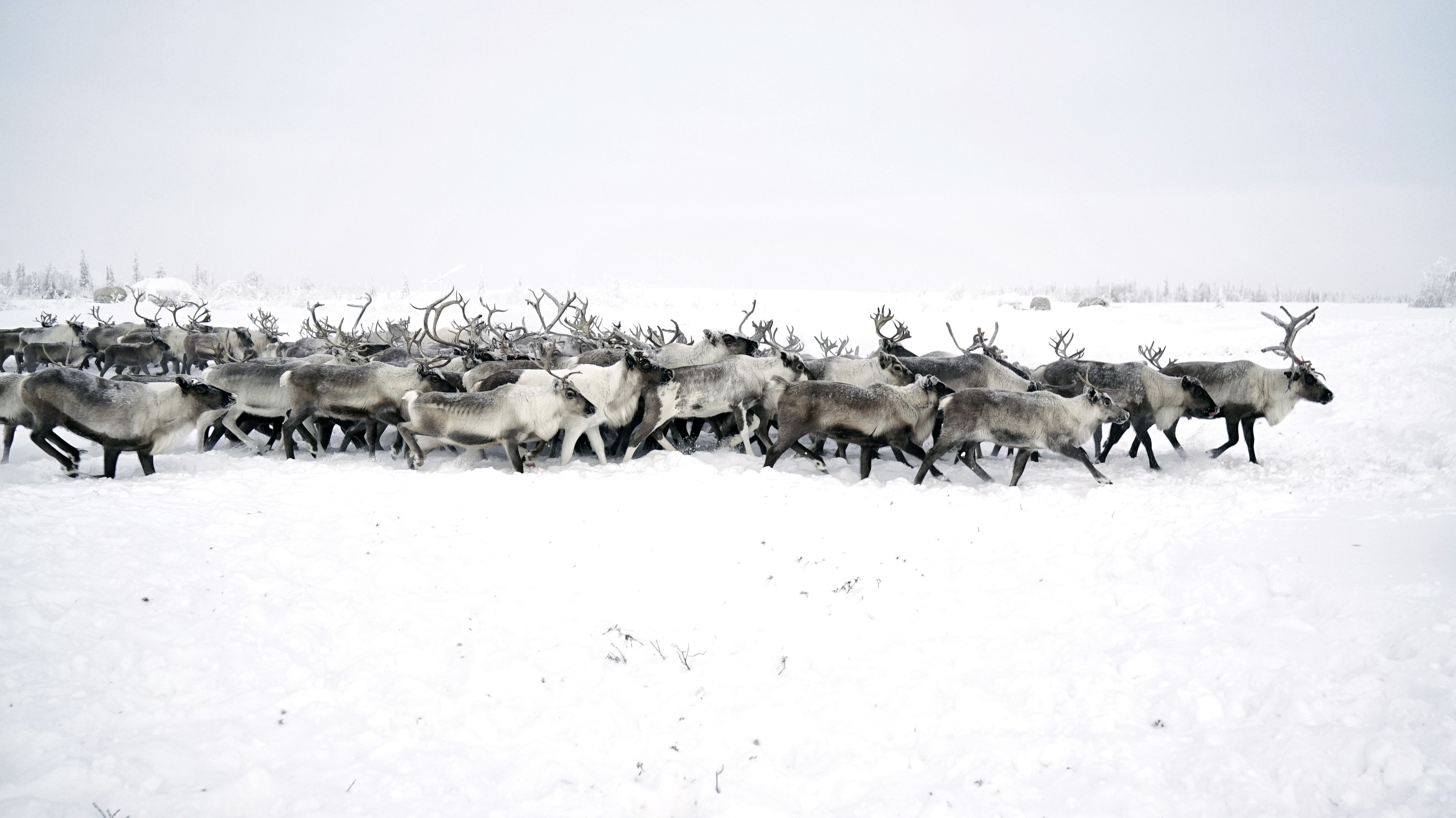 Traditional reindeer herding is coming into conflict with Russia's expanding oil and gas industry.
