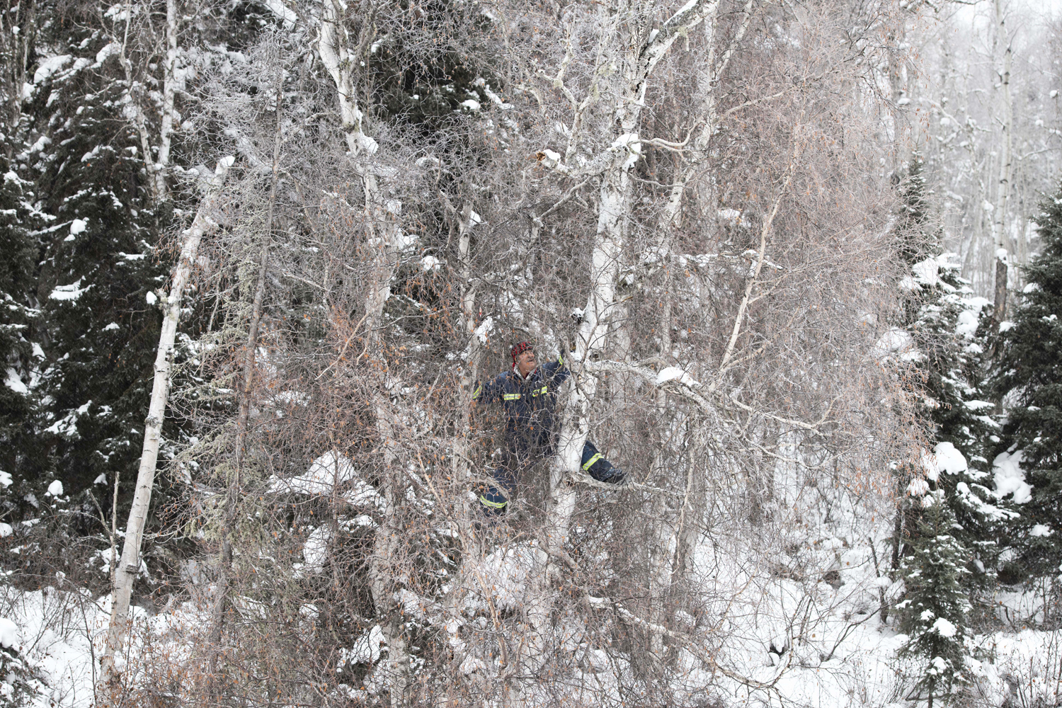 Chaga is often found high up on birch trees. Sometimes Tommy Bird waits for the trees to fall; sometimes he makes risky moves to harvest it. (Kandis Riese)