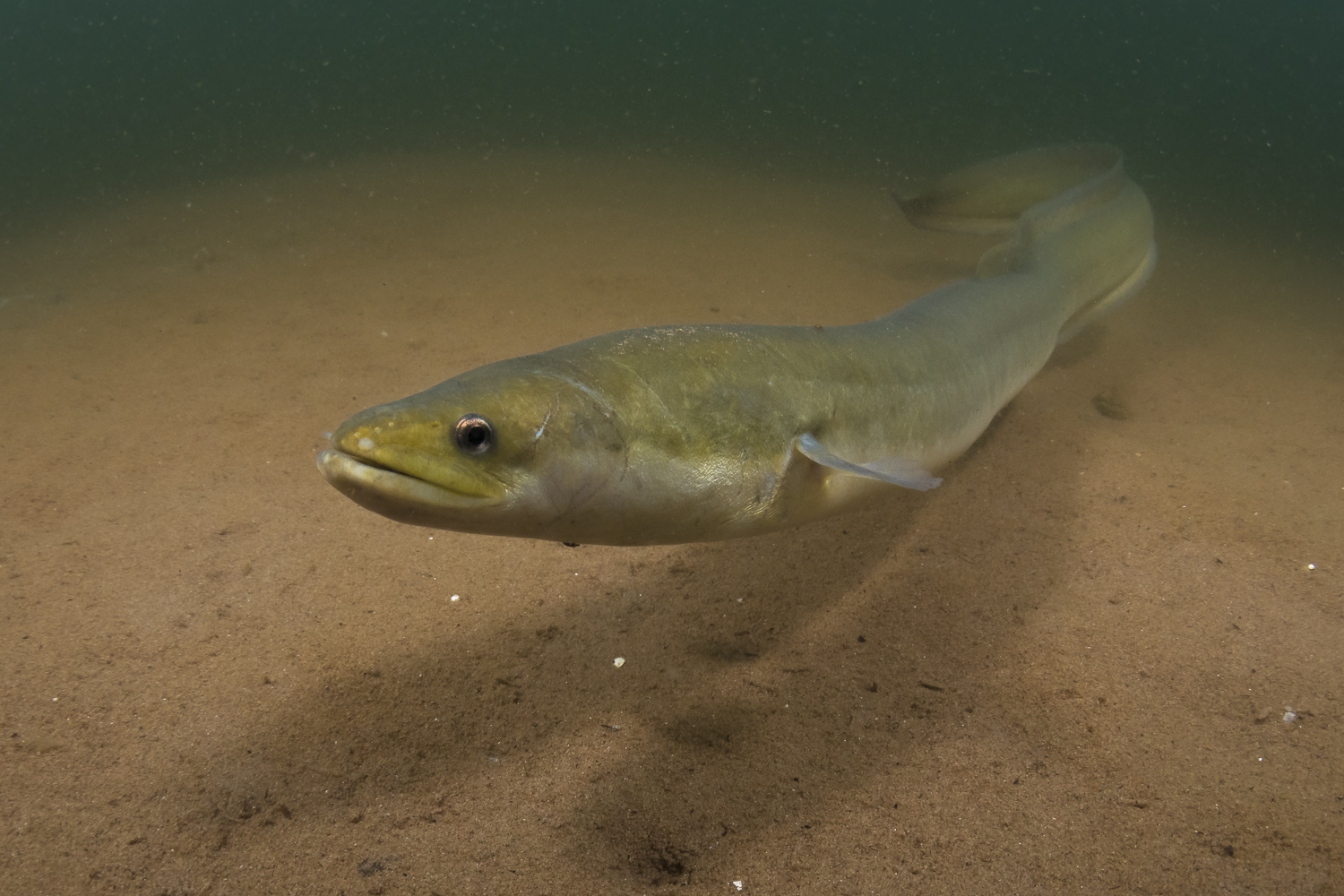 Cute? Beautiful? Creepy? Perhaps all three, but to me the American eel is one of the most interesting fishes in the world. After growing into an adult in Tracadie Bay, this eel will eventually migrate to the middle of the Atlantic Ocean to spawn and then die. (Sean Landsman)