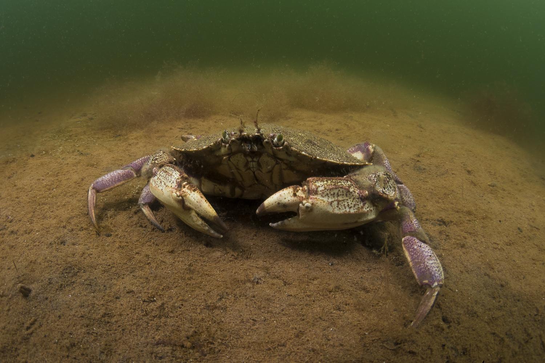 A simple portrait of a rock crab. (Sean Landsman)