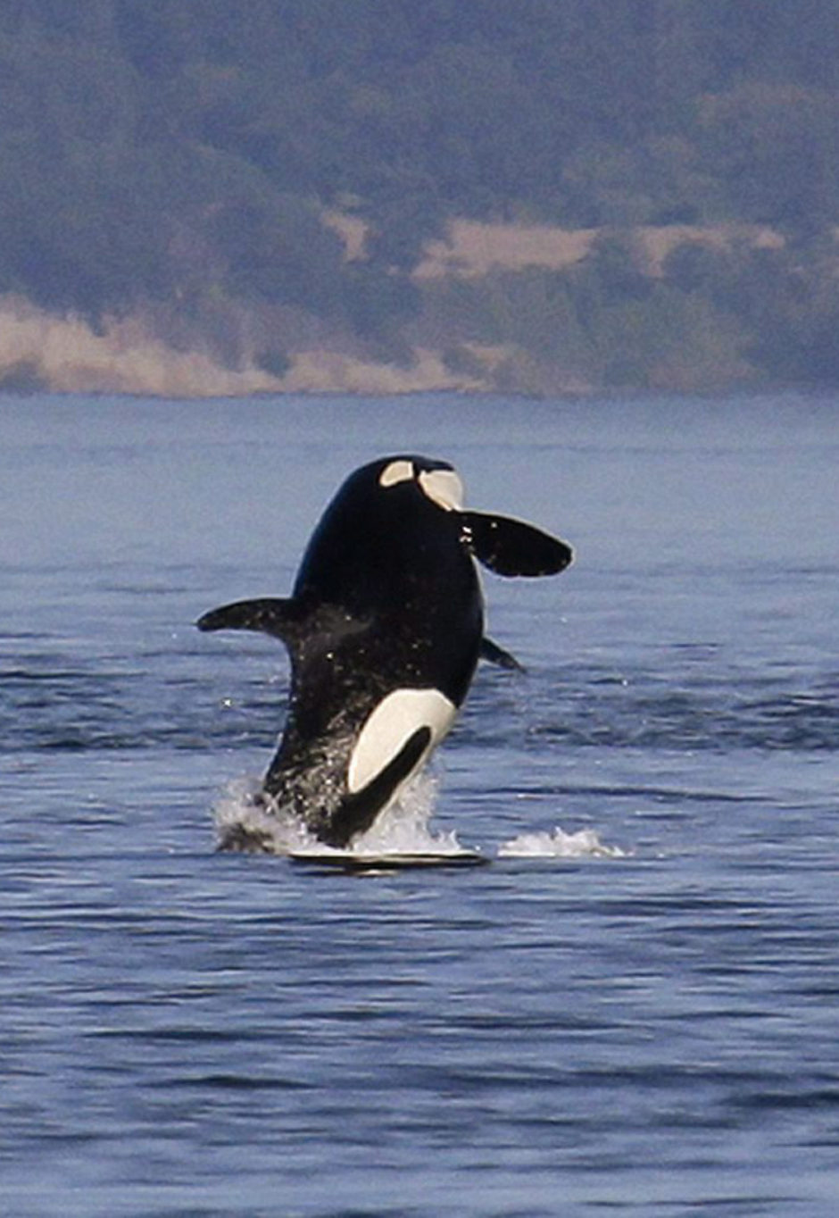 In this file photo taken July 31, 2015, an orca whale leaps out of the water near a whale watching boat in the Salish Sea in the San Juan Islands, Wash.