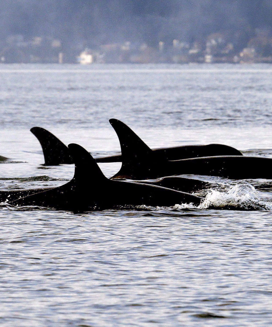 In this Jan. 18, 2014, file photo, endangered orcas from the J pod swim in Puget Sound west of Seattle, as seen from a federal research vessel that was tracking the whales. (THE CANADIAN PRESS/AP/Elaine Thompson)