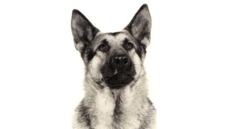 Valiant Street was named for Valiant, the first of eight Vancouver Police Service Dogs that have died from injuries suffered while on the job. (VPD)