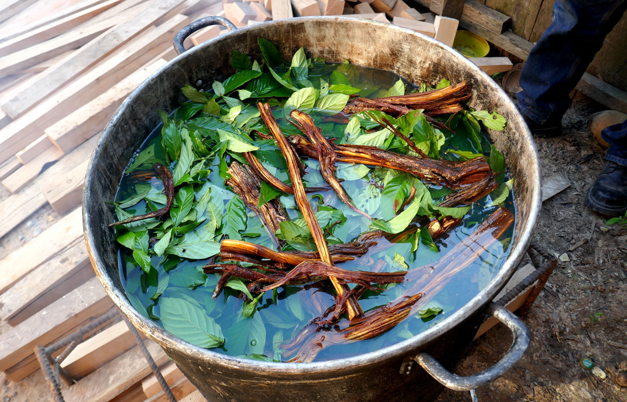 The Shipibo tribe figured out hundreds of years ago that when the ayahuasca leaf is boiled down with the vine, it creates a potent psychedelic brew. (Mark Kelley/CBC)