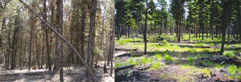 A dense stand of forest in Rocky Mountain Trench before and after fuel treatment. (Forest Enhancement Society of B.C.)