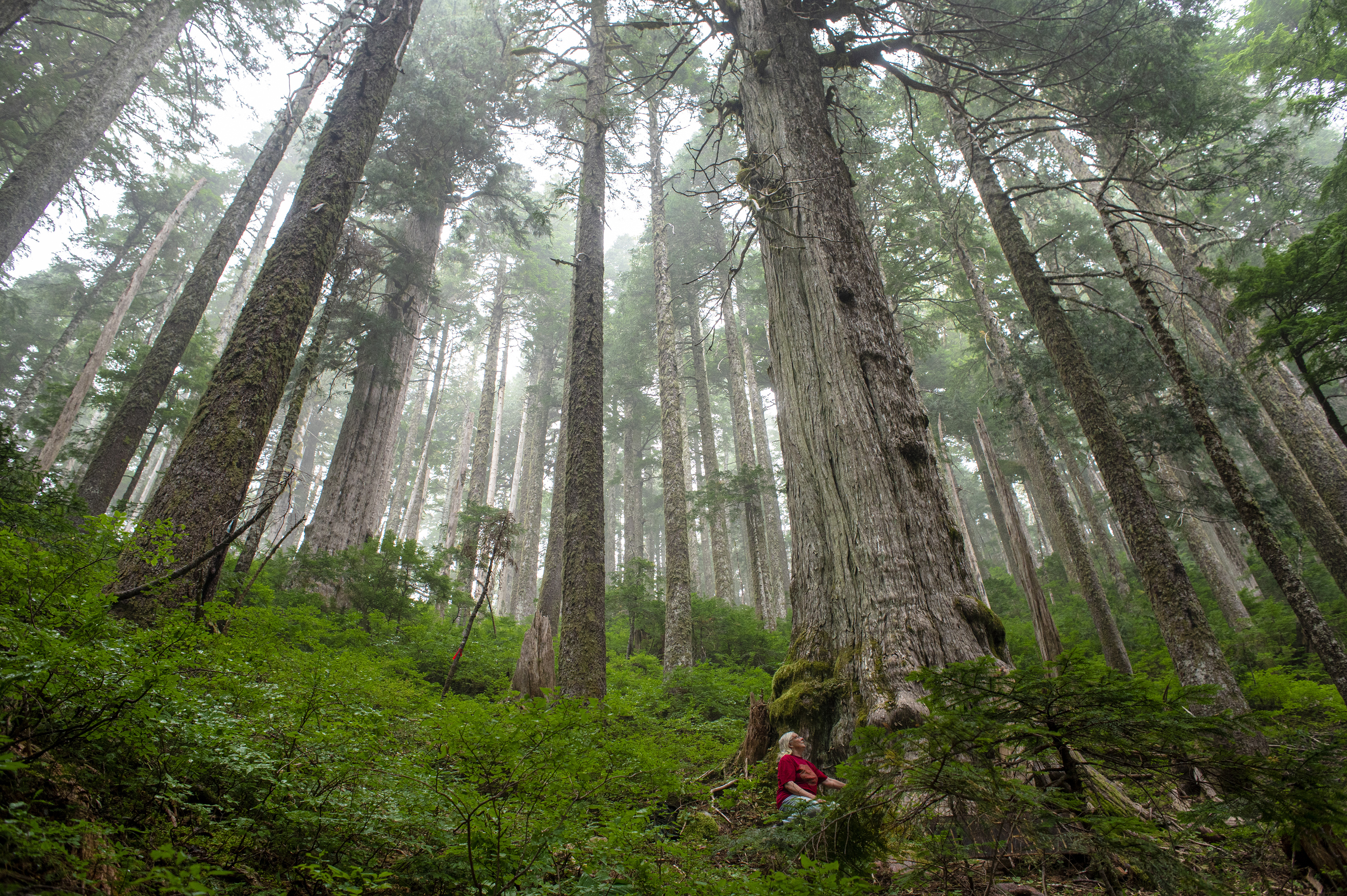 Despite being at a high elevation, the yellow cedar trees near the headwaters of the Fairy Creek watershed grow to immense size. (Kieran Oudshoorn/CBC)