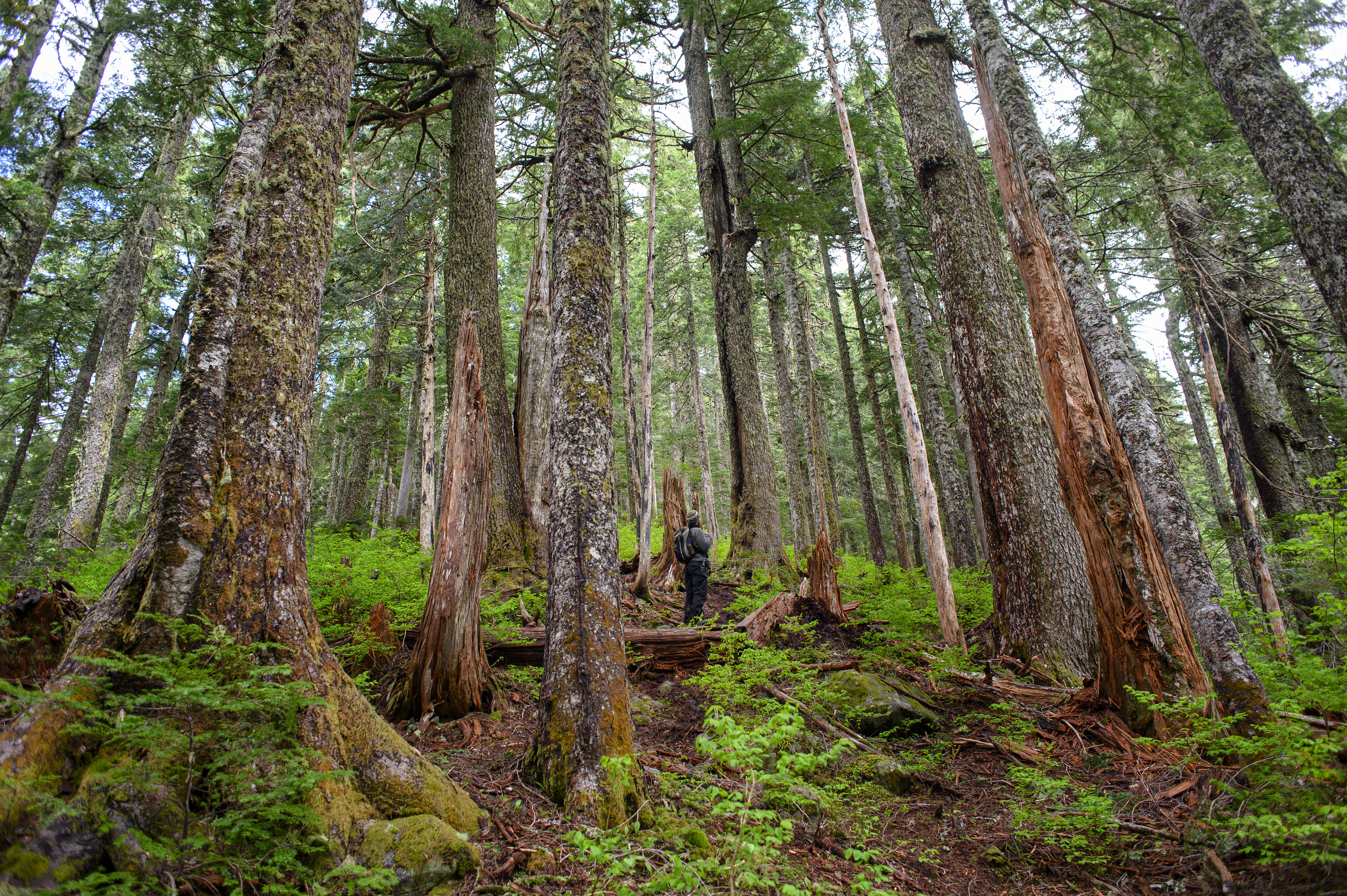 First Nations on Vancouver Island and the Lower Mainland have taken differing positions on logging of old-growth forests. Some see it as an opportunity for jobs and revenue sharing; others want to halt old-growth logging in their traditional territory. (Kieran Oudshoorn/CBC)