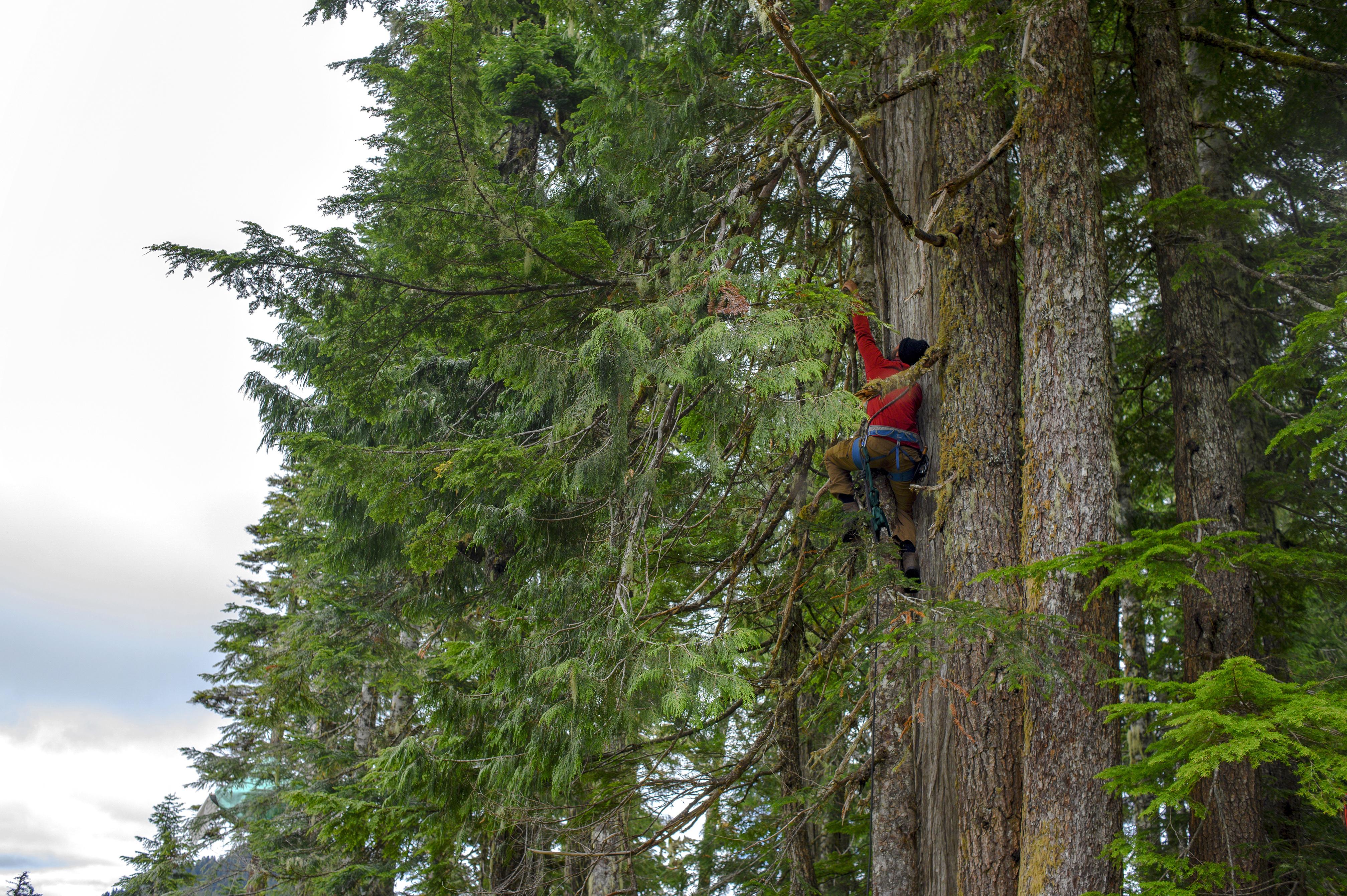 Savard climbs a tree to secure a tree-sit. (Kieran Oudshoorn/CBC)