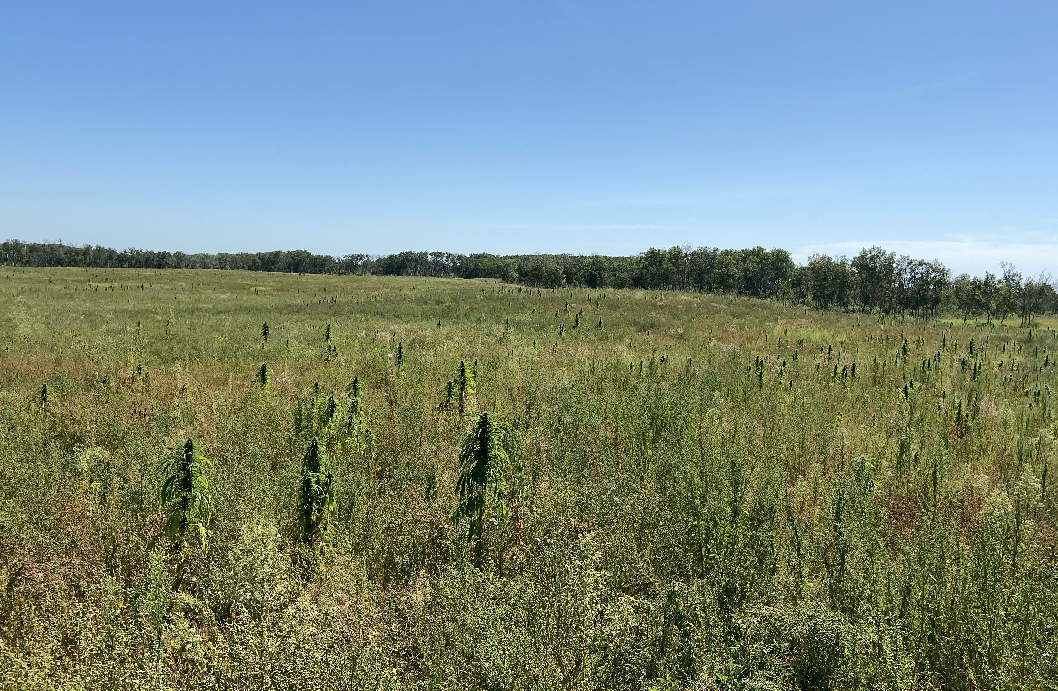 Joey Zhang owns this land near Duck Lake, Sask., where a field of hemp is growing. (Matthew Garand/CBC)