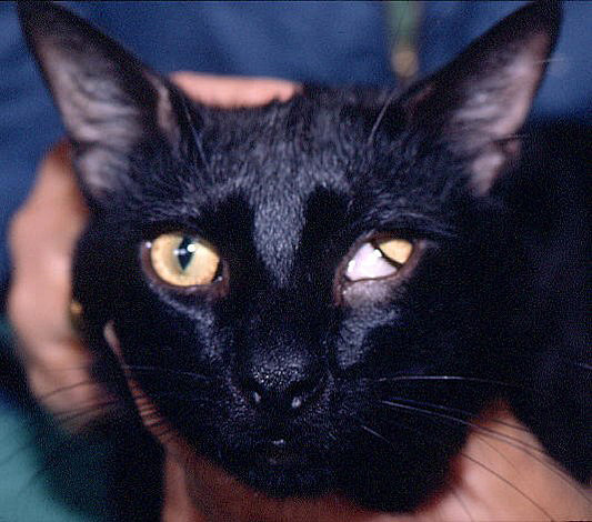 This is one of the cats from New Zealand with the LPL gene mutation. (Boyd Jones)