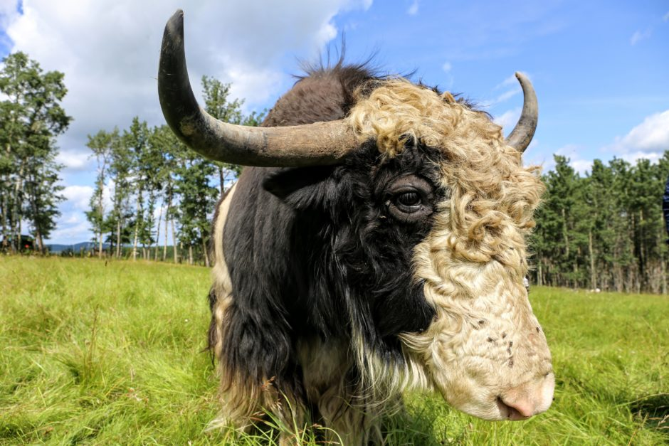 The large head of a yak