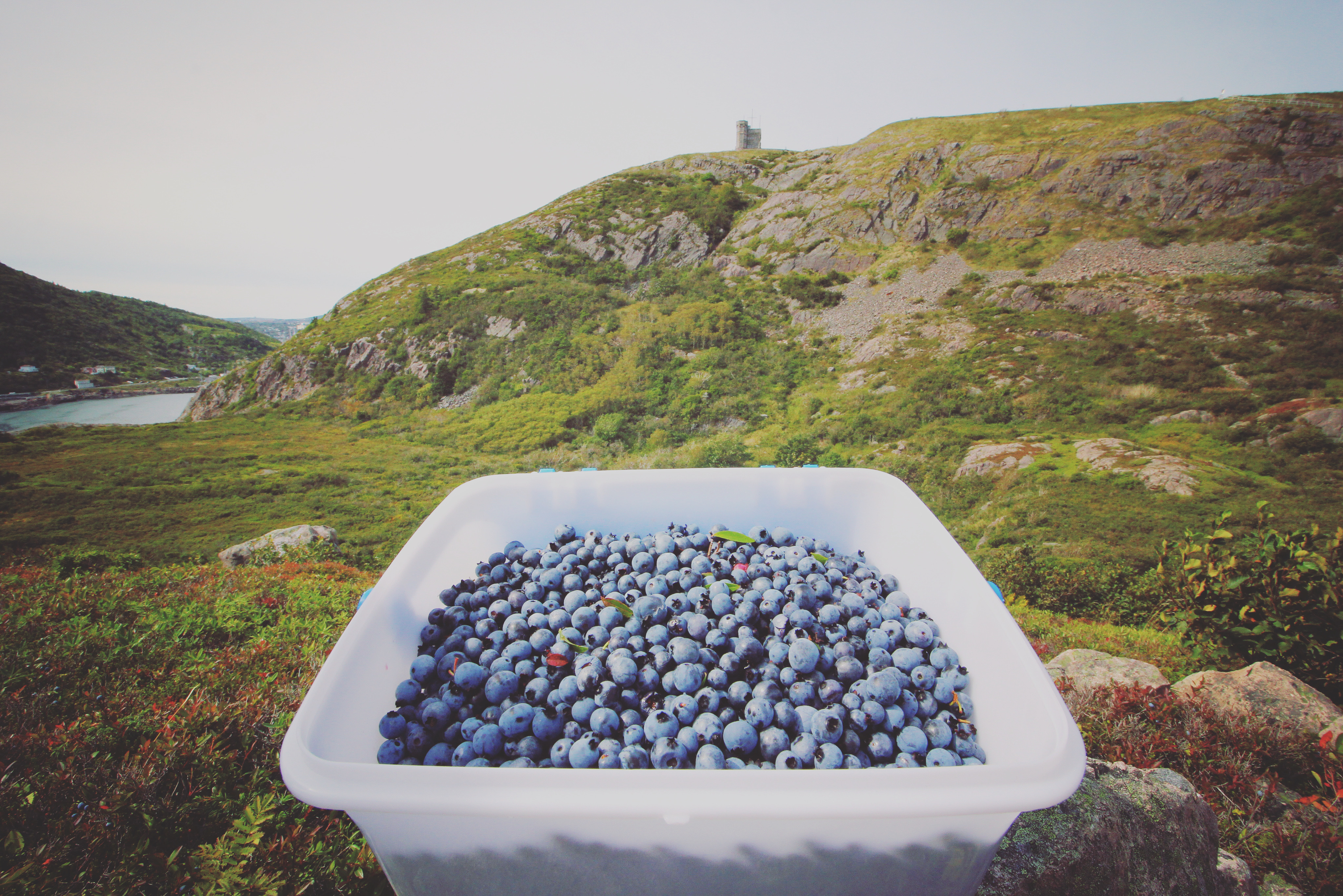 Rowbottom sells buckets of berries to people through online classifieds. It took him an hour to pick these. (Gavin Simms/CBC)