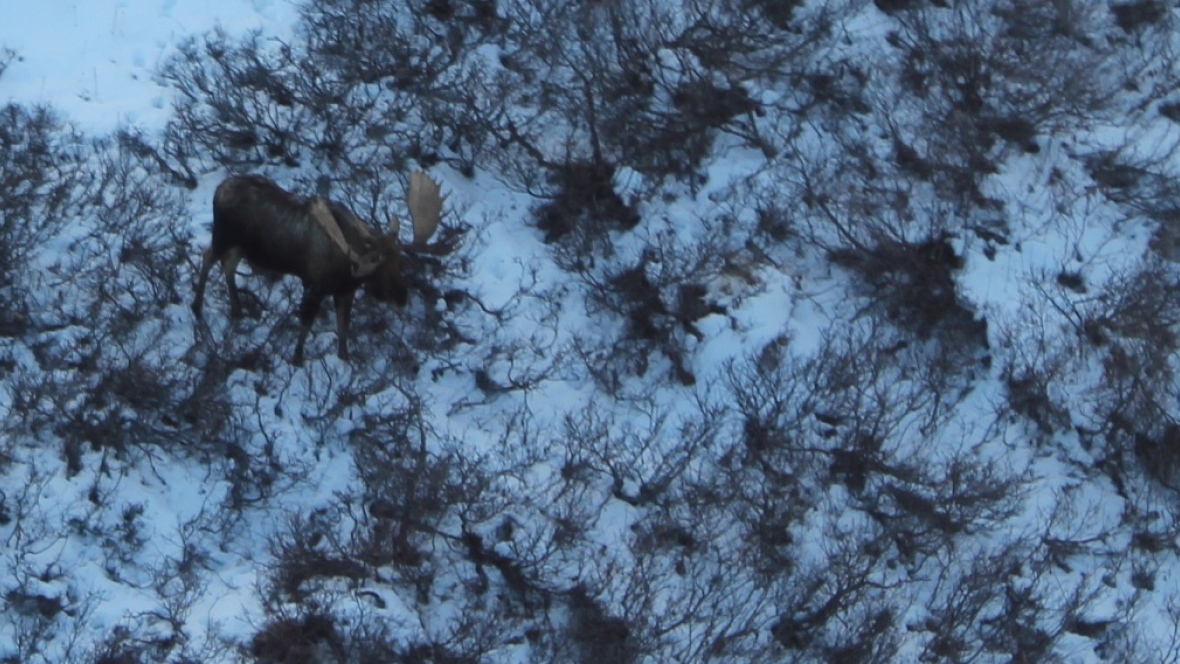 A recent aerial survey shows that moose populations are increasing in Kluane National Park, but there aren't many calves. (Jeffrey Peter/Parks Canada)