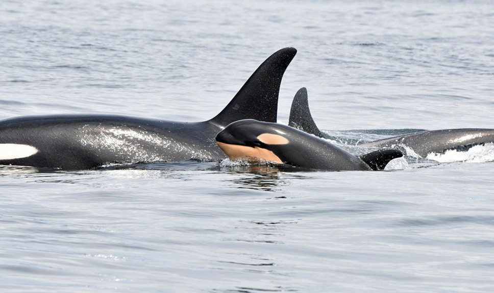 This new calf was spotted with J pod this spring. (Fisheries and Oceans Canada)