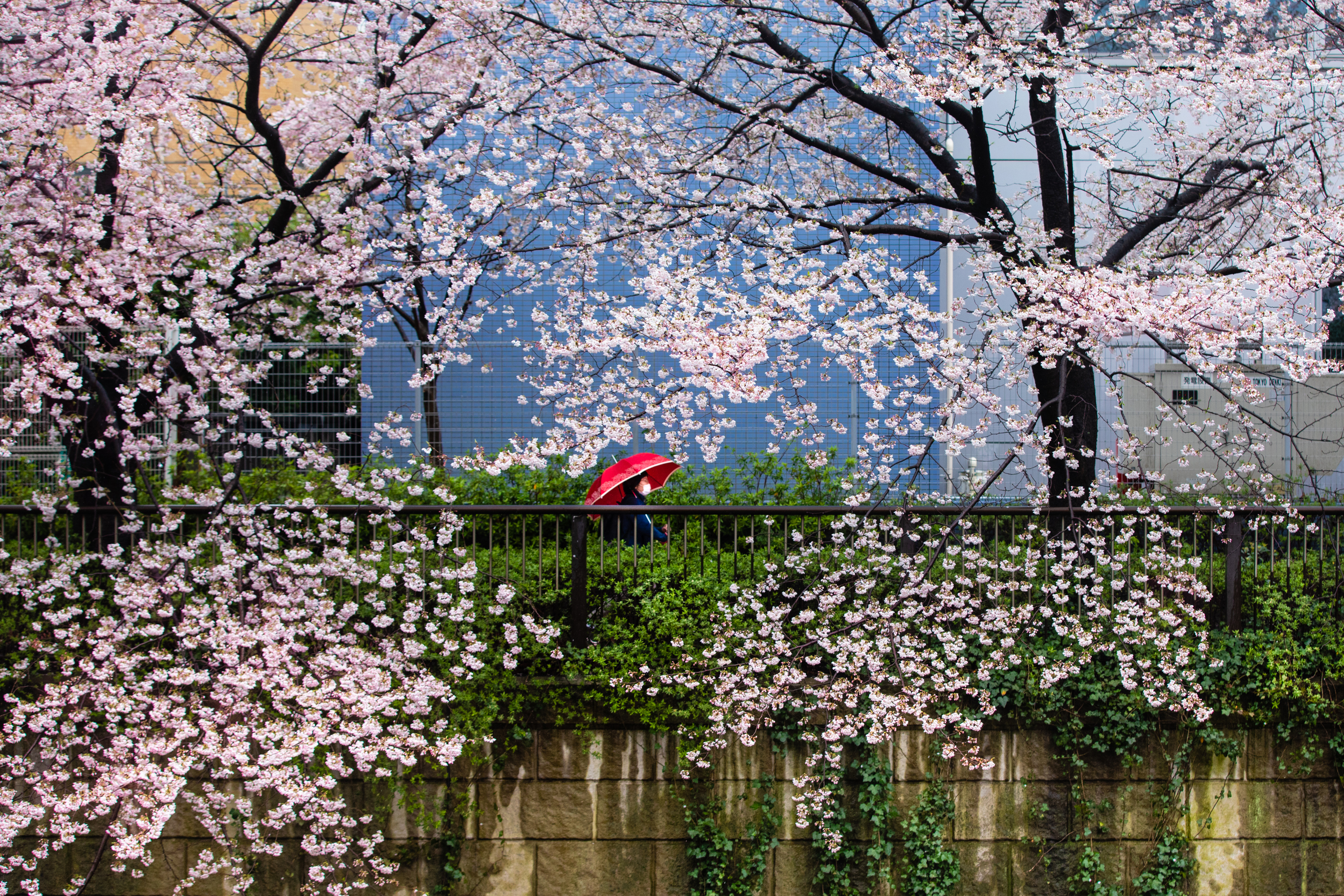 Crowds of millions who normally throng Tokyo's sakura – or cherry blossom – festival largely avoided it this year, on the advice of public health officials. (Saša Petricic/CBC)