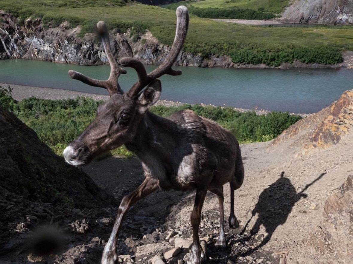 Both caribou and moose seem to be moving farther north to escape the effects of climate change, specifically an increase in wet weather. (Peter Mather)