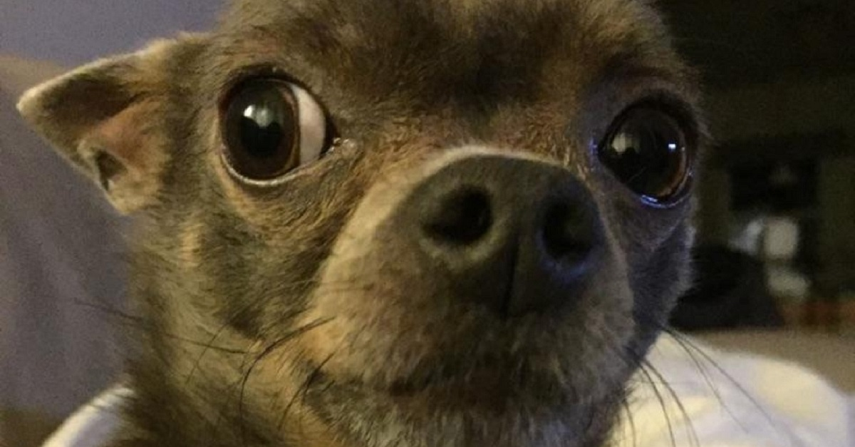 Lab's DNA results say this chihuahua has 20% Indigenous ancestry