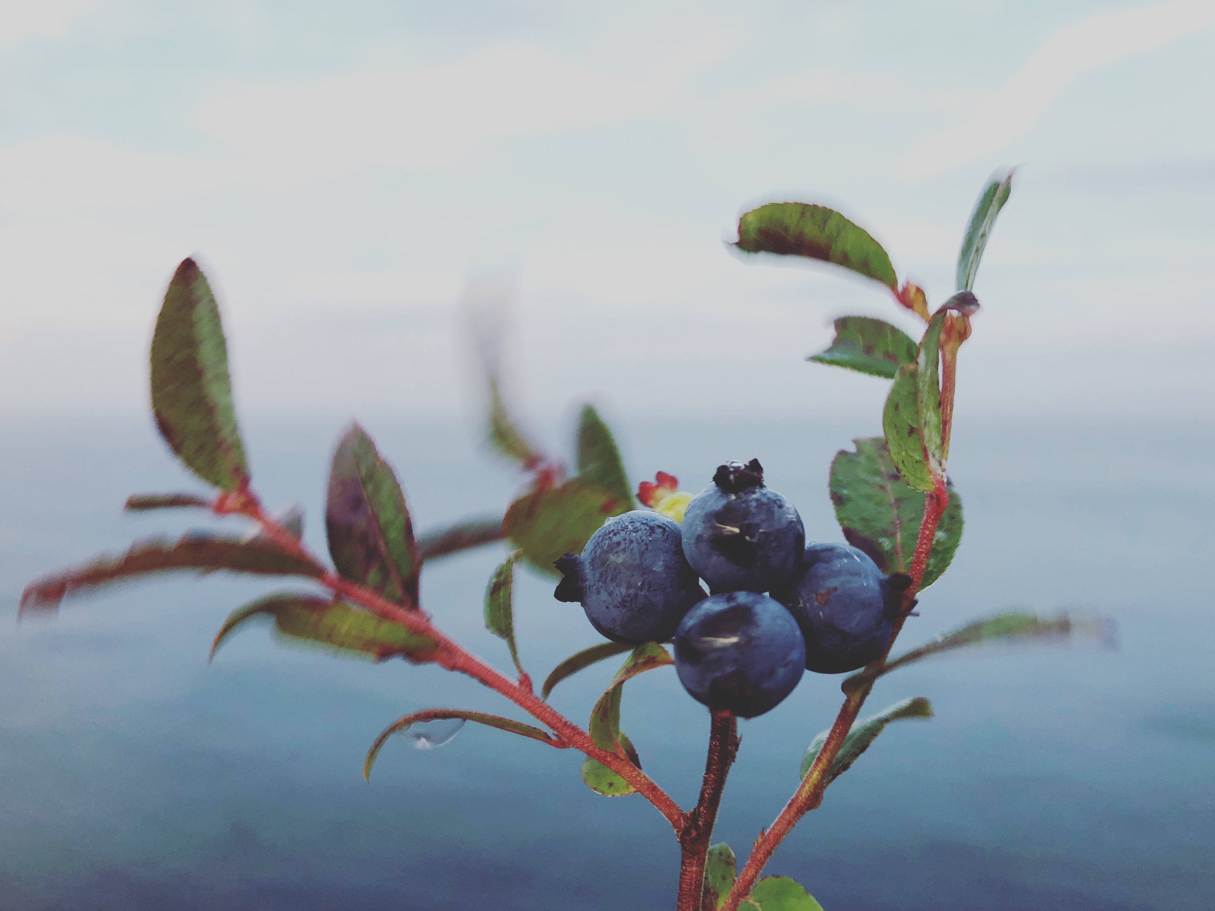 There are more blueberries this season than Rowbottom has seen in recent years. He hopes to double his record of 100 gallons. (Gavin Simms/CBC)