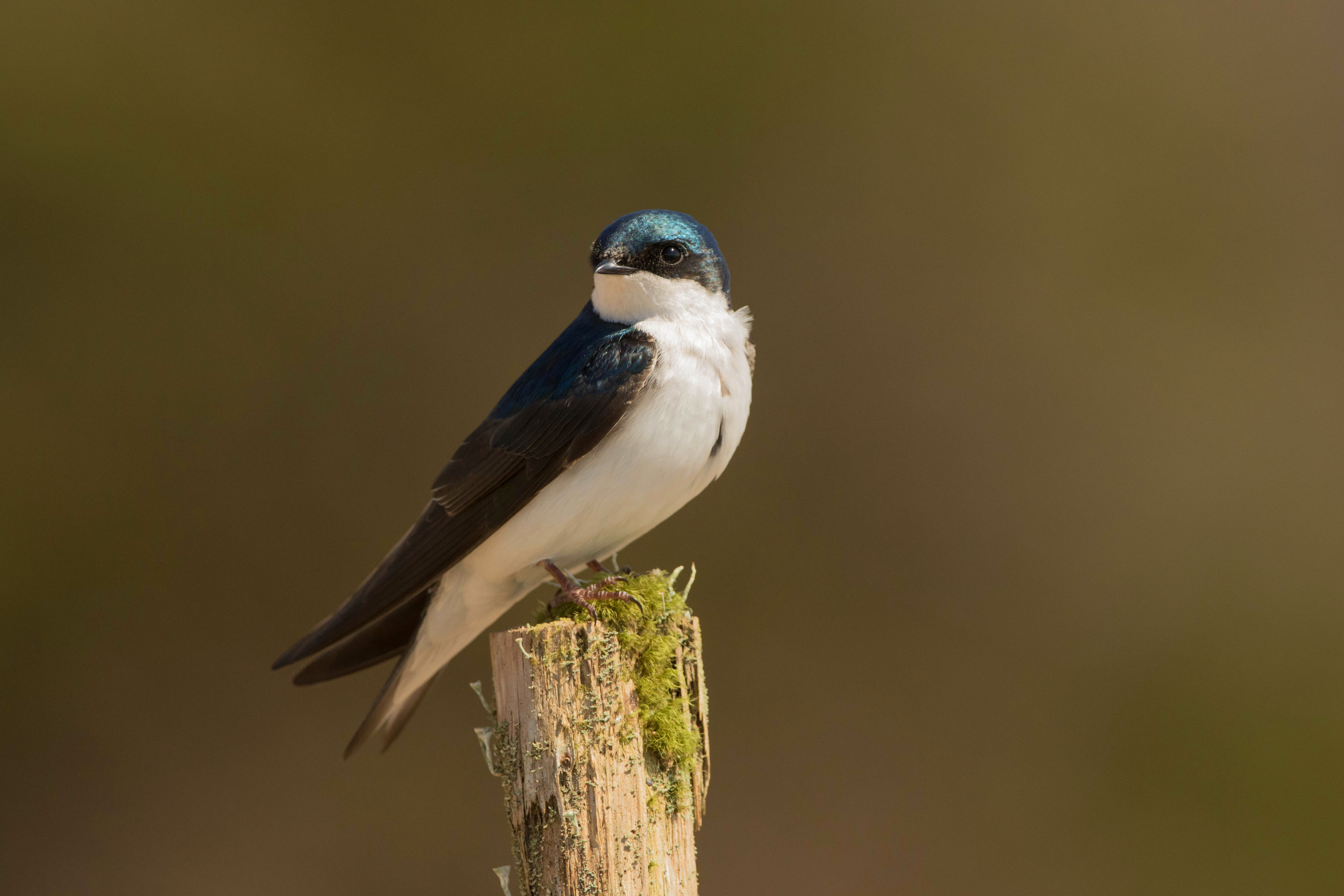 Tree swallows are aerial insectivores — meaning they almost exclusively eat flying insects. Pesticides entering waterways and killing insect larva, along with an unavailability of nesting cavities, has caused this species to decline significantly since the 1960s. Building a nest box and placing it in an open area is one way to help tree swallows! (Brendan Kelly)