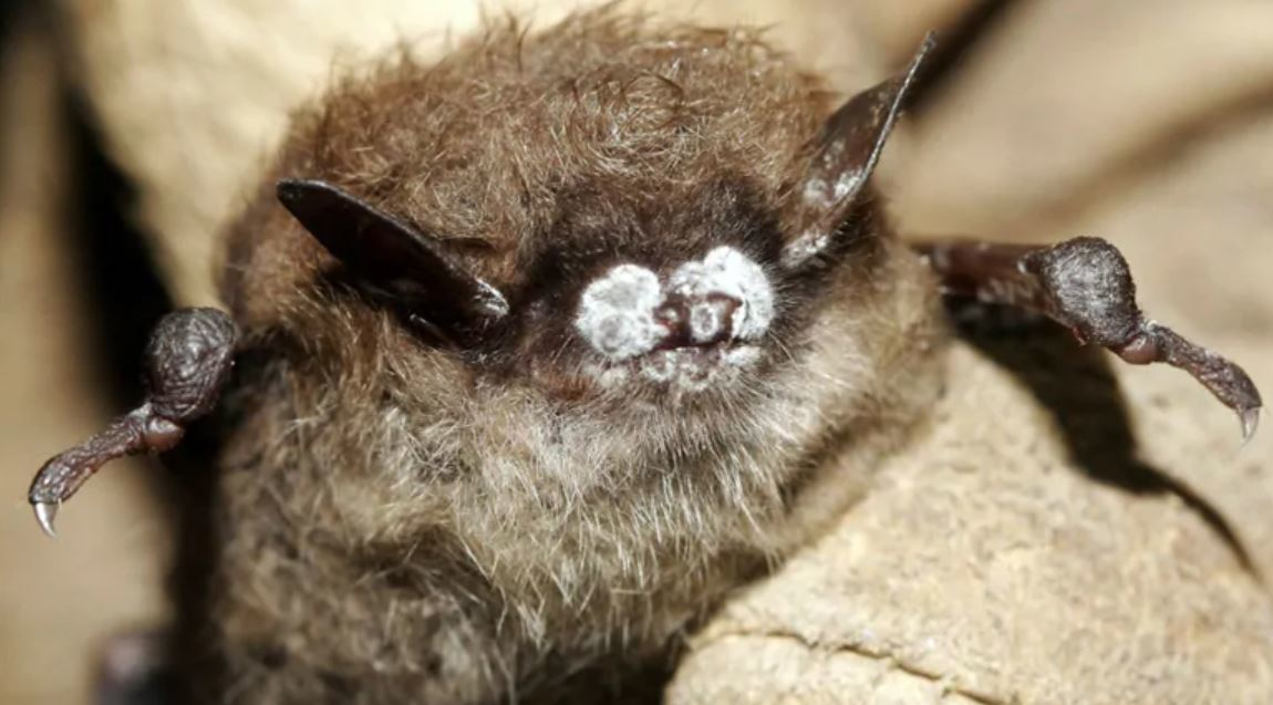 White nose syndrome is fatal to most of the bats exposed to it. (Ryan von Linden/New York Department of Environmental Conservation/AP)